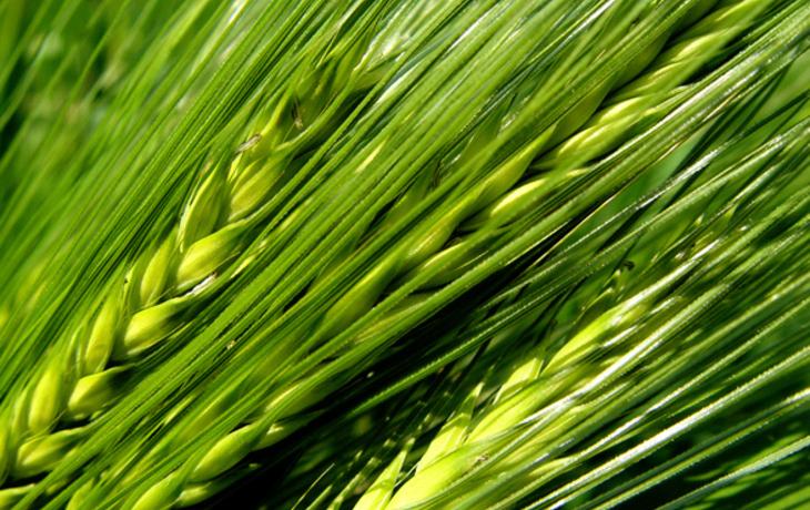 zielony jęczmień laventi